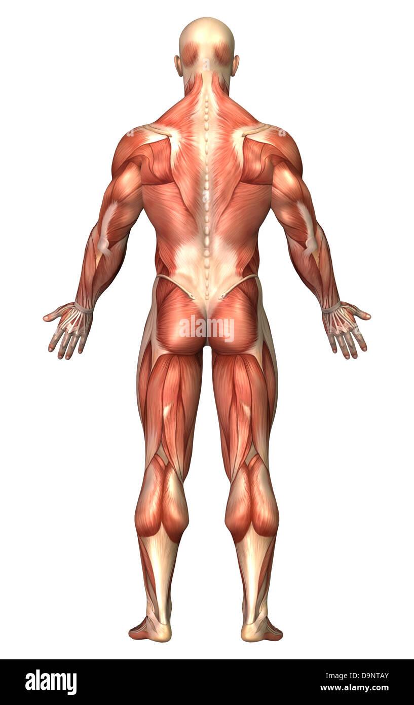 Anatomy Male Muscular Back View Imágenes De Stock & Anatomy Male ...