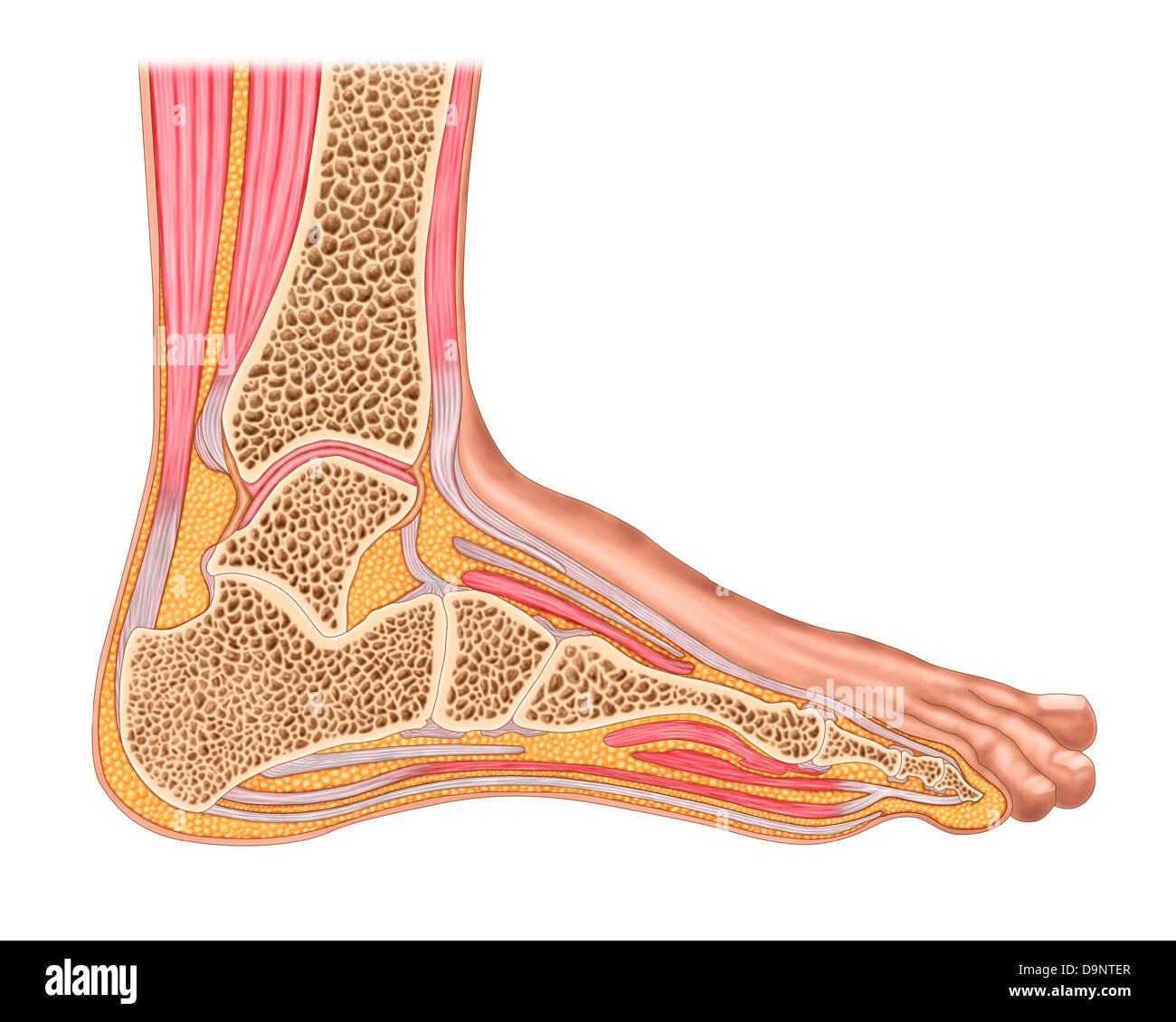 Foot Ligament Imágenes De Stock & Foot Ligament Fotos De Stock - Alamy