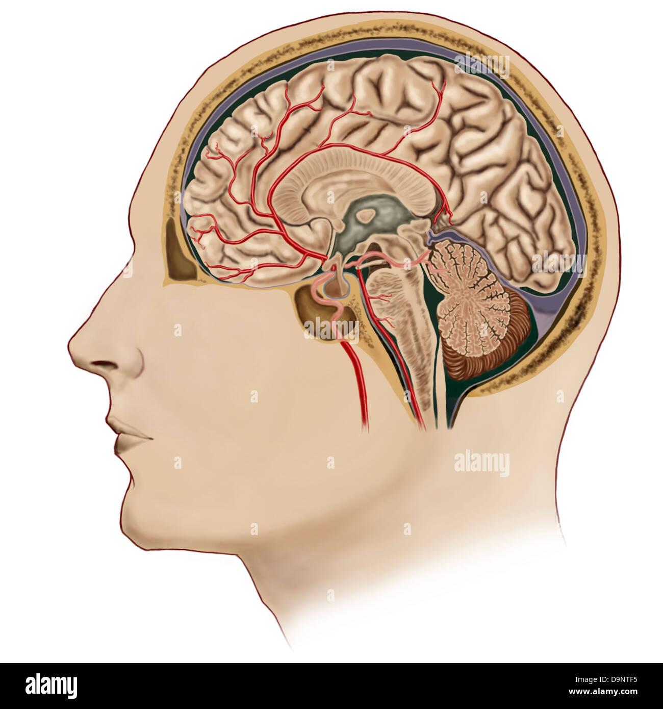 Sección transversal de cerebro con arterias. Imagen De Stock