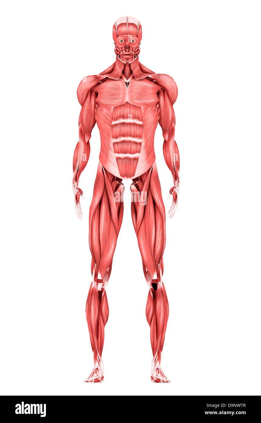 Ilustración médica del sistema muscular masculina, vista delantera ...