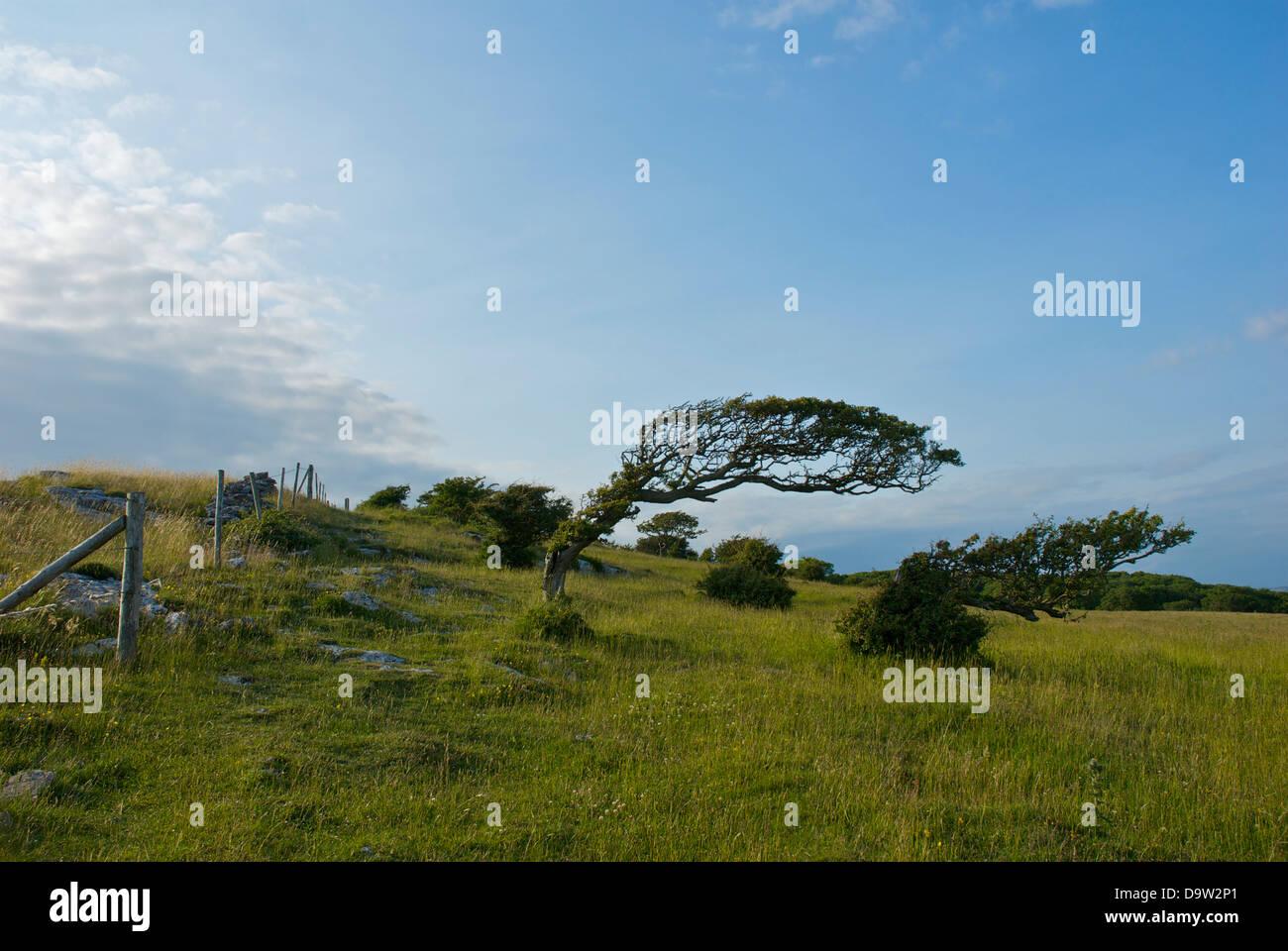 Dobladas, el viento árboles sobre el promontorio de piedra caliza de Humphrey Cabeza, Cumbria, Inglaterra Imagen De Stock
