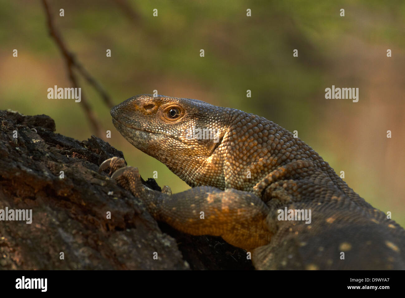 White-throated monitor (Varanus albigularis albigularis), el Parque Nacional Kruger, Sudáfrica Imagen De Stock