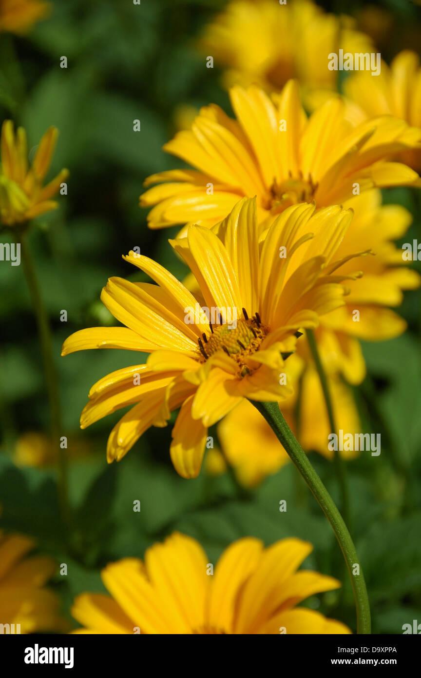- Girasol Helianthus helianthoides Var Scabra Foto de stock