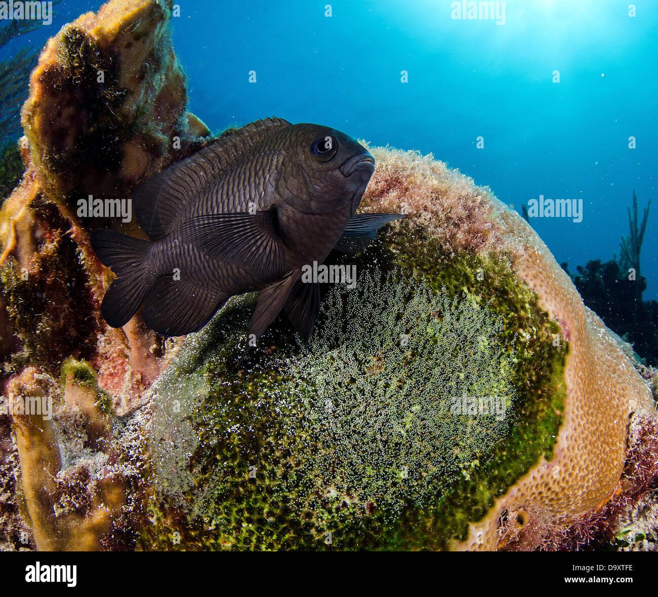 Threespot damisela, Stegastes planifrons protegiendo sus huevos en arrecifes de coral cerca de Cancún, México, el mar Caribe Foto de stock
