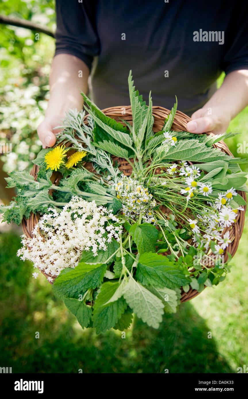 Selección de hierbas silvestres en la pequeña cesta. Imagen De Stock