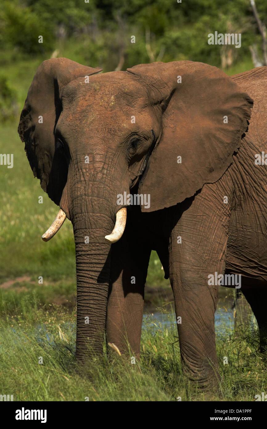 El elefante (Loxodonta africana), el Parque Nacional de Hwange, Zimbabwe, África austral Imagen De Stock