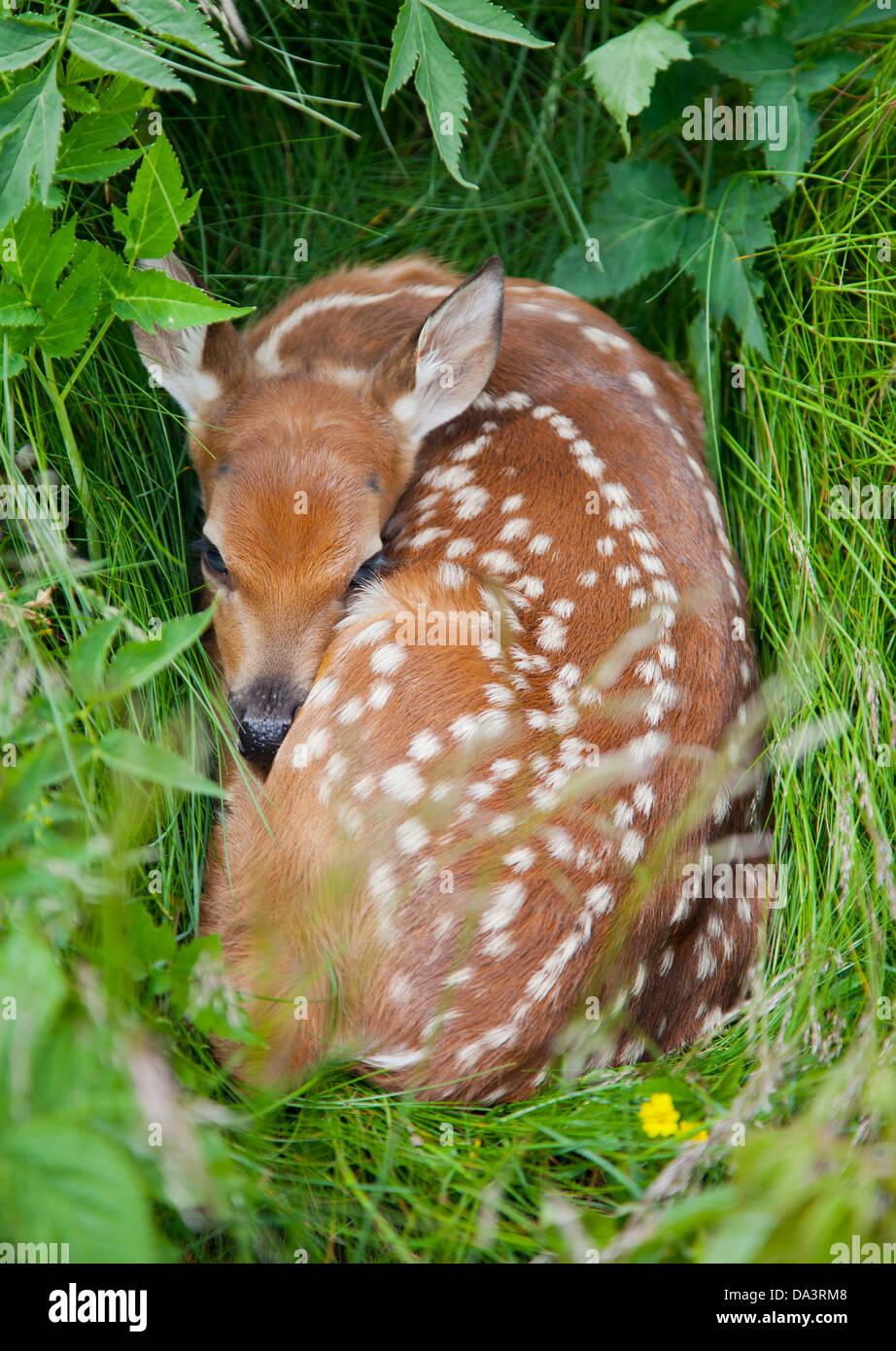 El venado cola blanca (Odocoileus virginianus) Fawn escondidos en la hierba alta Imagen De Stock
