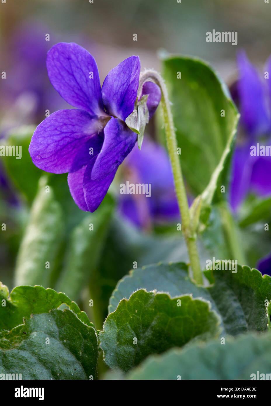 Violeta / madera dulce violetas / Inglés violeta (Viola odorata) en flor en primavera Foto de stock