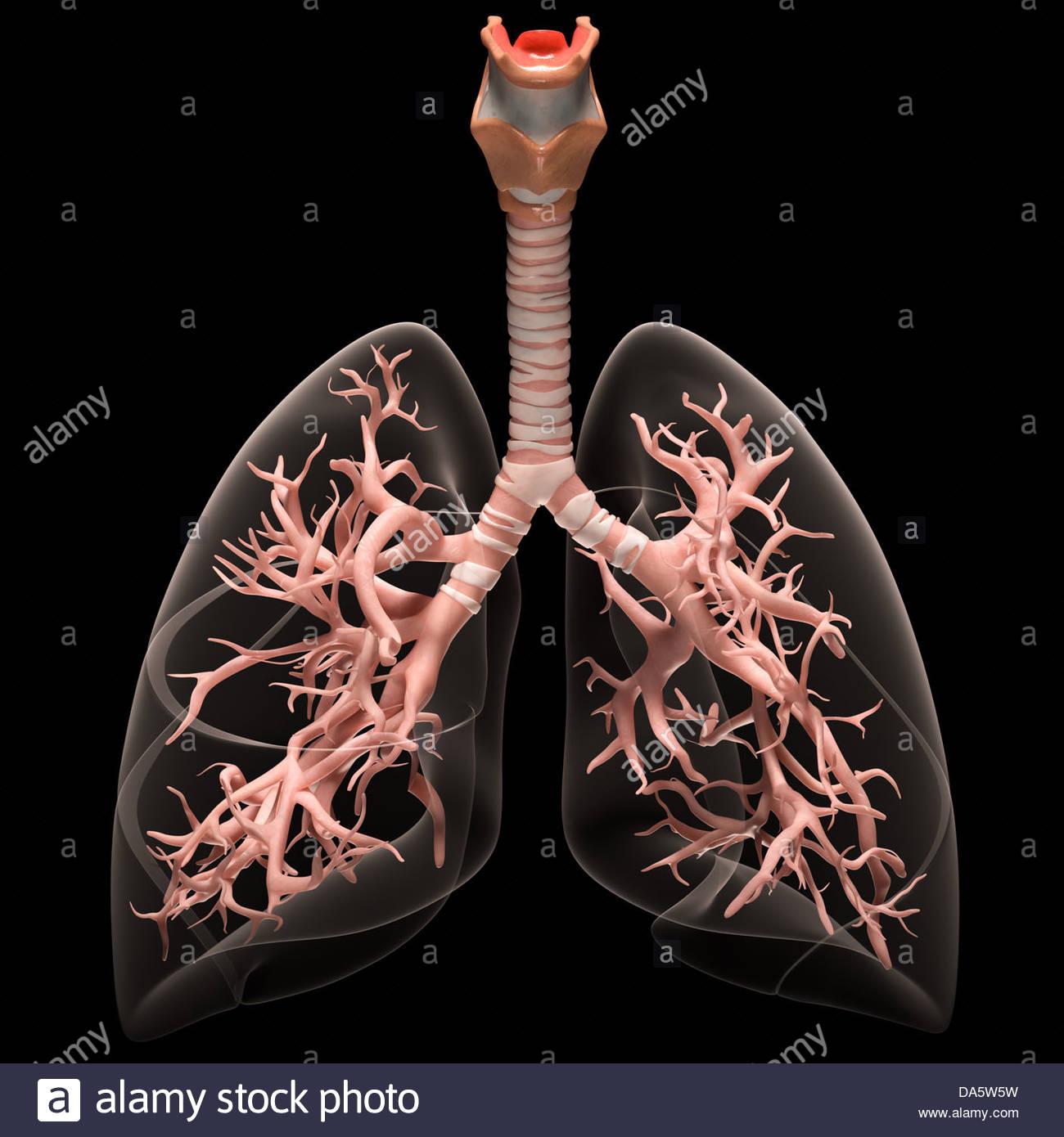 Ilustración médica digital representando el sistema respiratorio humano. Los pulmones transparentes revelan Imagen De Stock