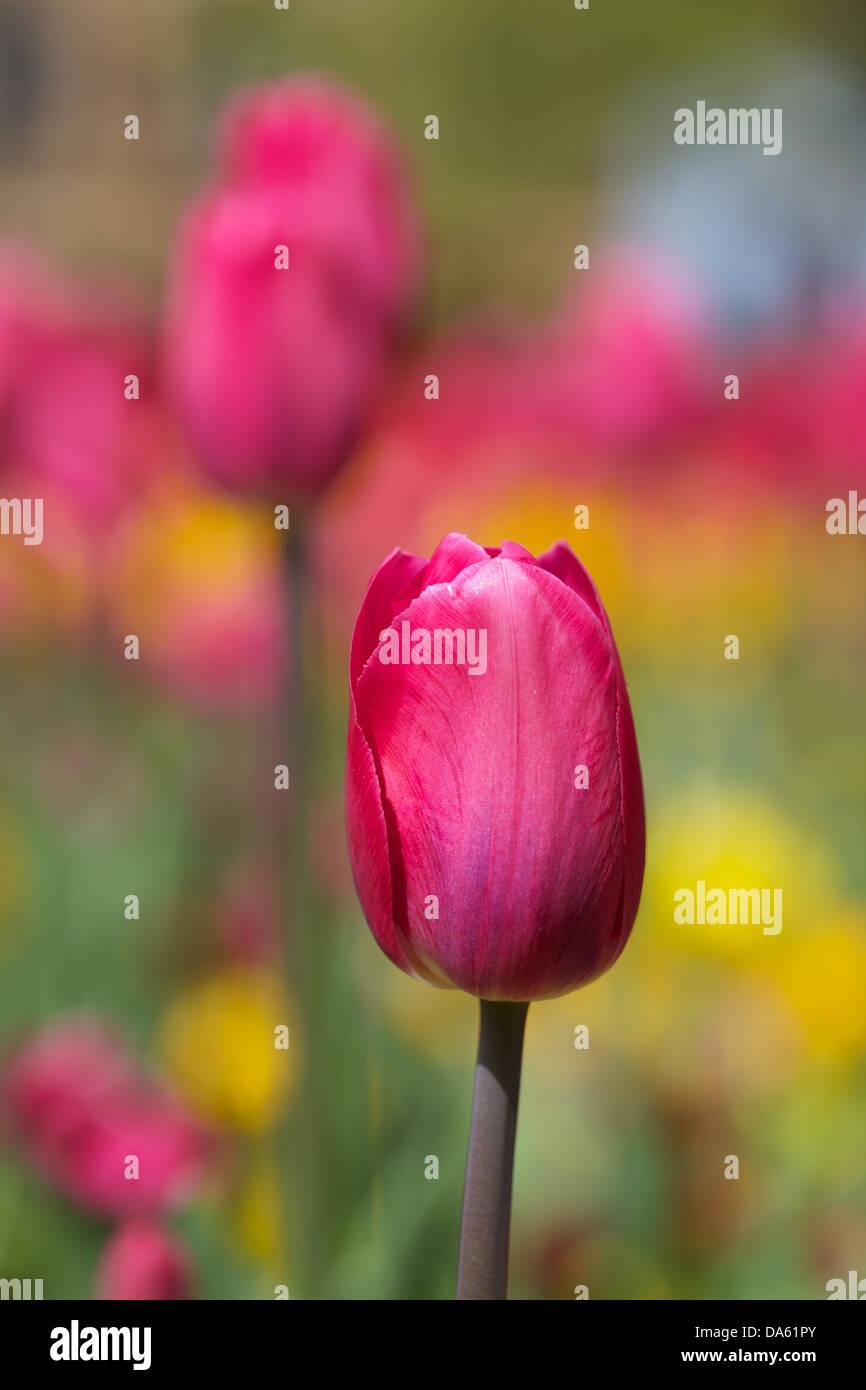 Primer plano de tulipanes en un jardín en Harrogate Foto de stock