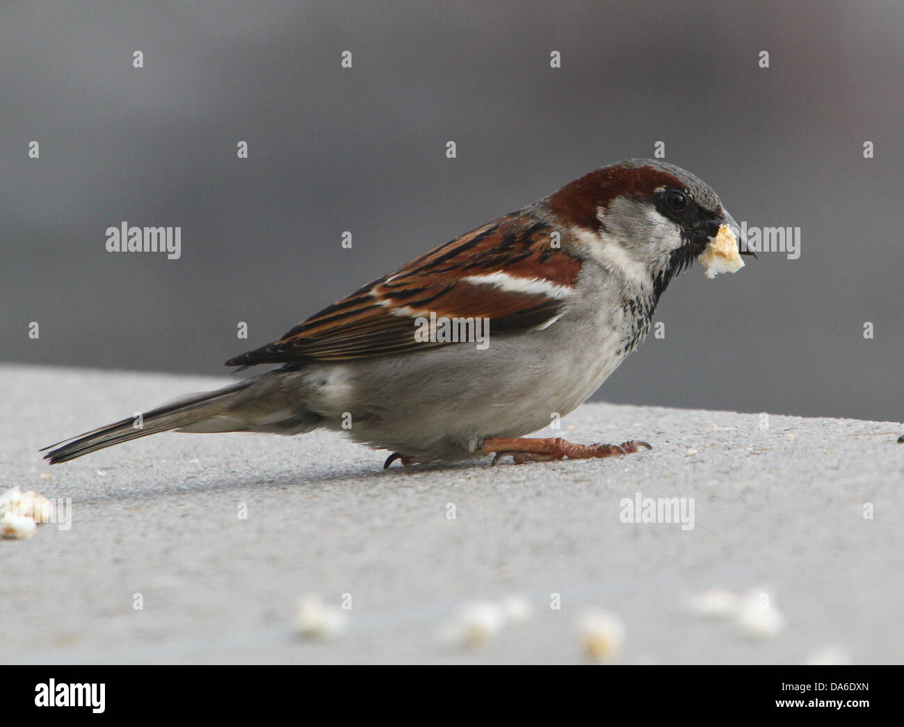 Close-up de un macho de gorrión (Passer domesticus) visitando a mi balcón (más de 40 imágenes en serie) Foto de stock
