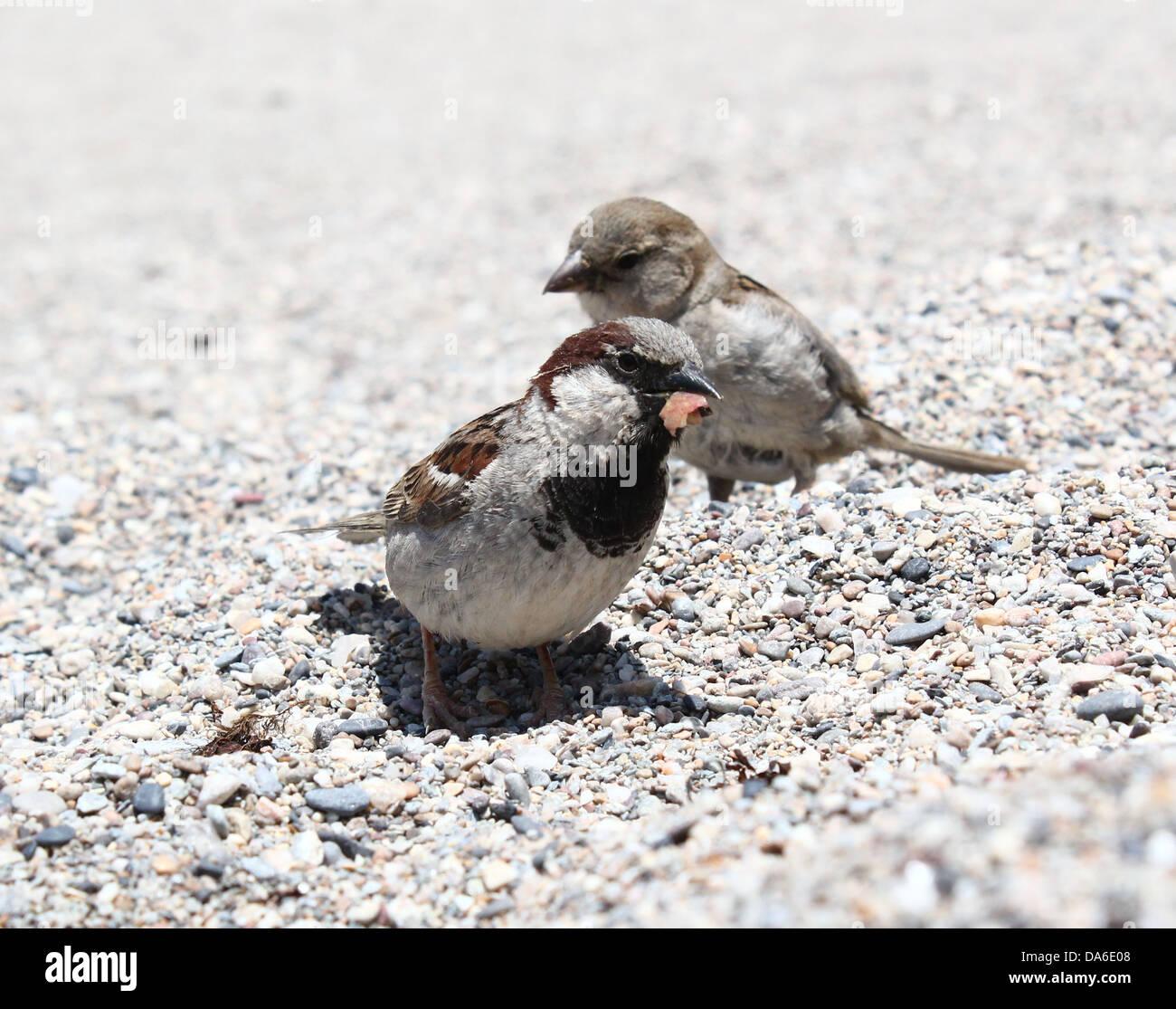 Close-up de un varón y una mujer gorrión (Passer domesticus) en la playa, en busca de alimentos Foto de stock