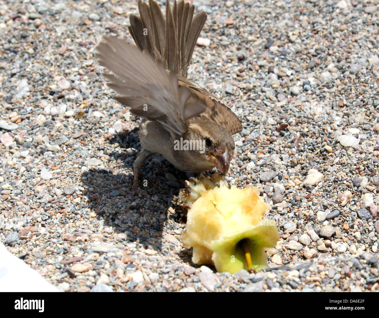 Close-up de una hembra gorrión (Passer domesticus) comiendo una manzana de la playa y a batir sus alas Foto de stock