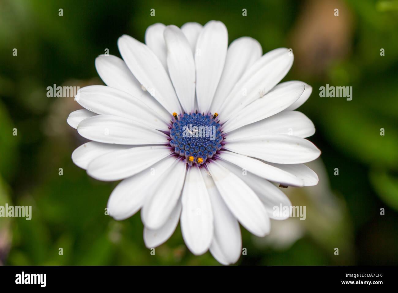 Daisy blanco y morado Imagen De Stock