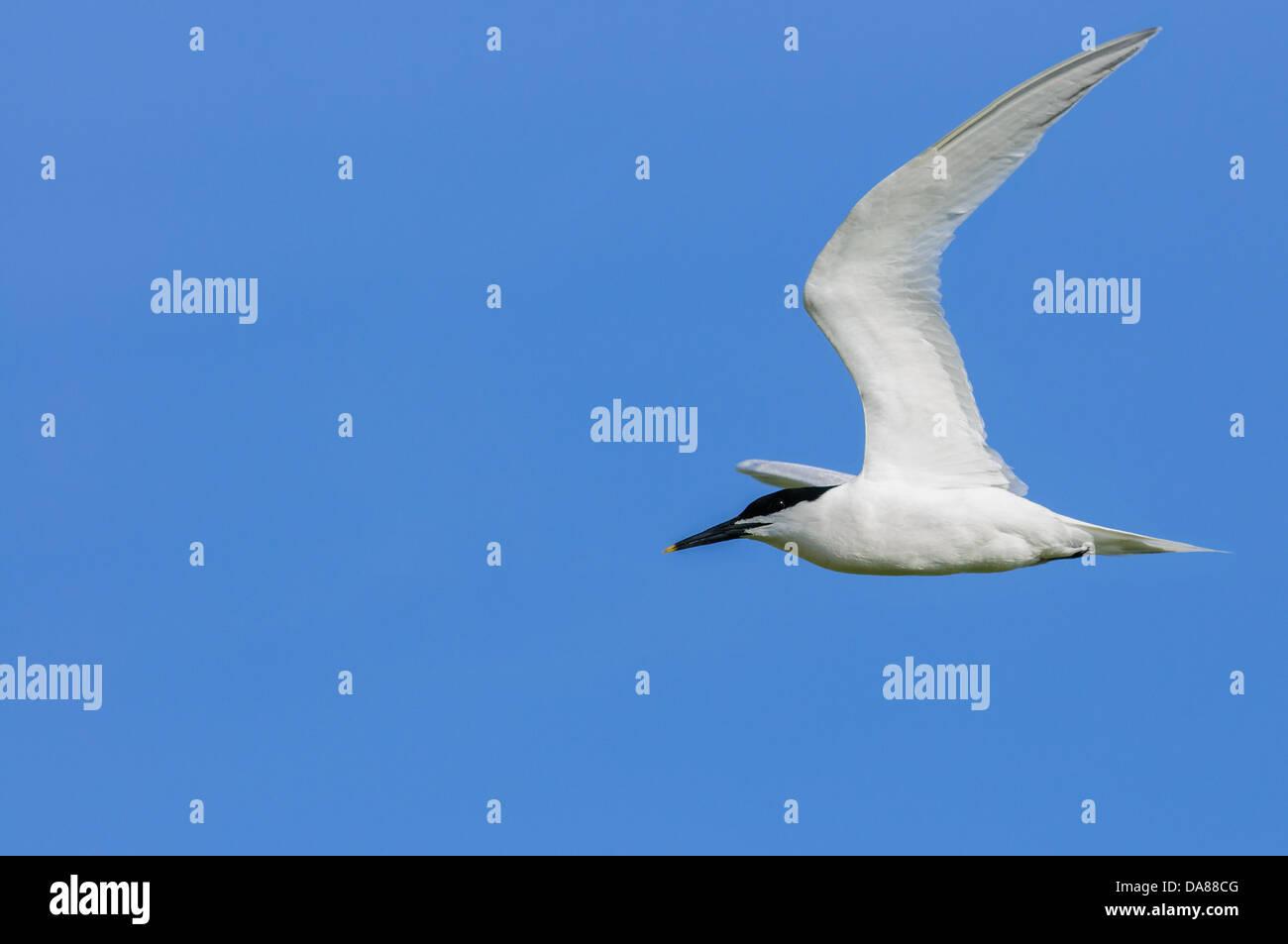 Flying Tern Sandwich en Texel, Holanda Imagen De Stock