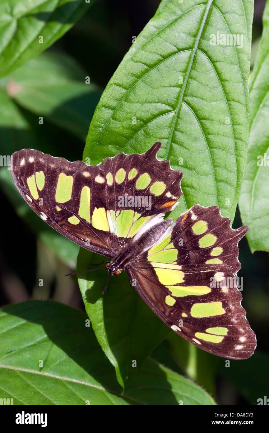 Butterfly (Siproeta stelenes Malaquita) Foto de stock