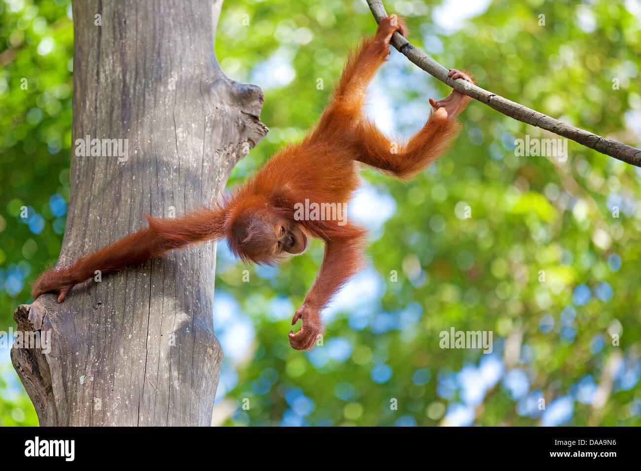Borneo Orangutan Foto de stock