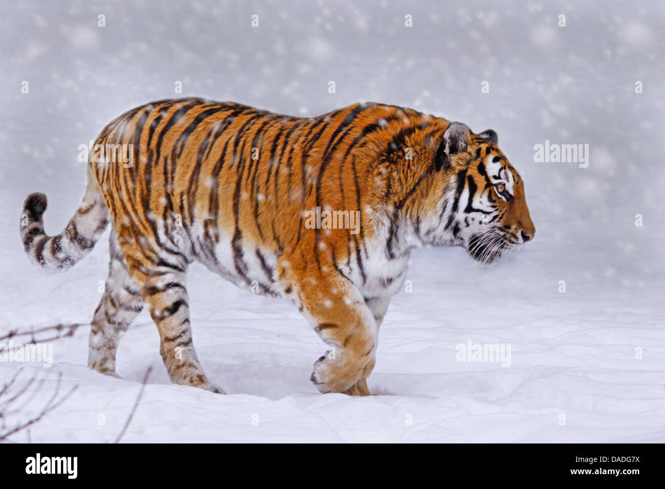 Tigre siberiano, Amurian tigre (Panthera tigris altaica), paseos a través de la nieve Foto de stock