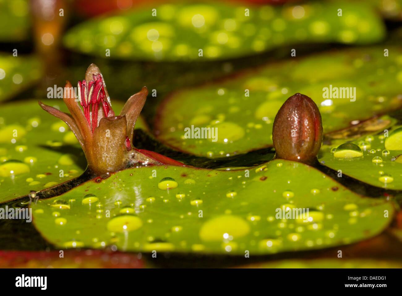 Escudo de agua (Brasenia schreberi ), flor y bud Imagen De Stock