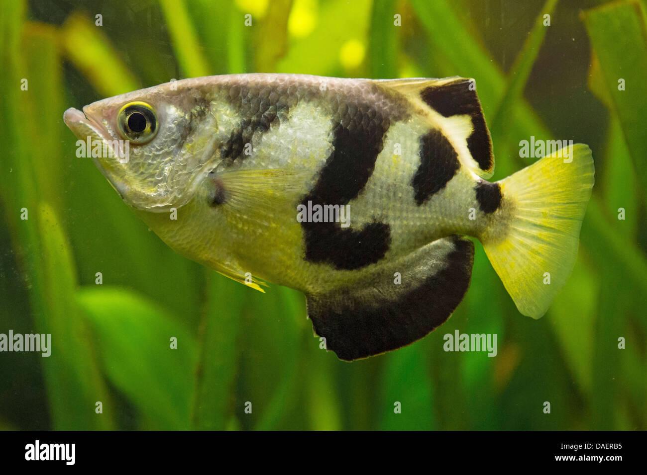 Archerfish (Toxotidae), en agua dulce Imagen De Stock