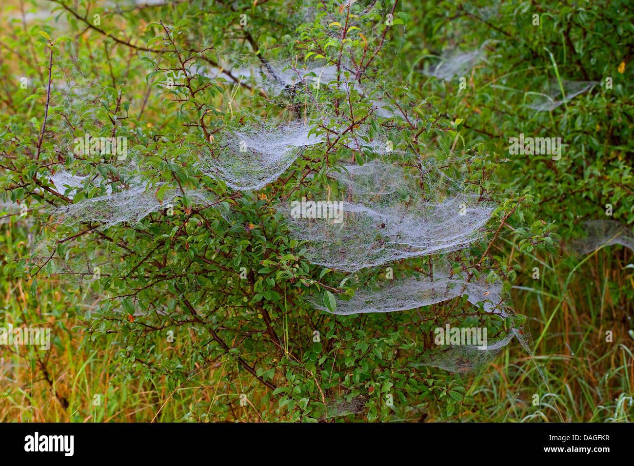Hoja-web Weaver, Línea de tejer, araña tejedora de línea (Linyphia triangularis), con morningdew Imagen De Stock