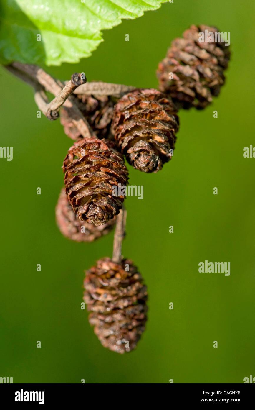 Aliso gris canoso, alisos, moteado de aliso (Alnus incana), conos, Alemania Foto de stock