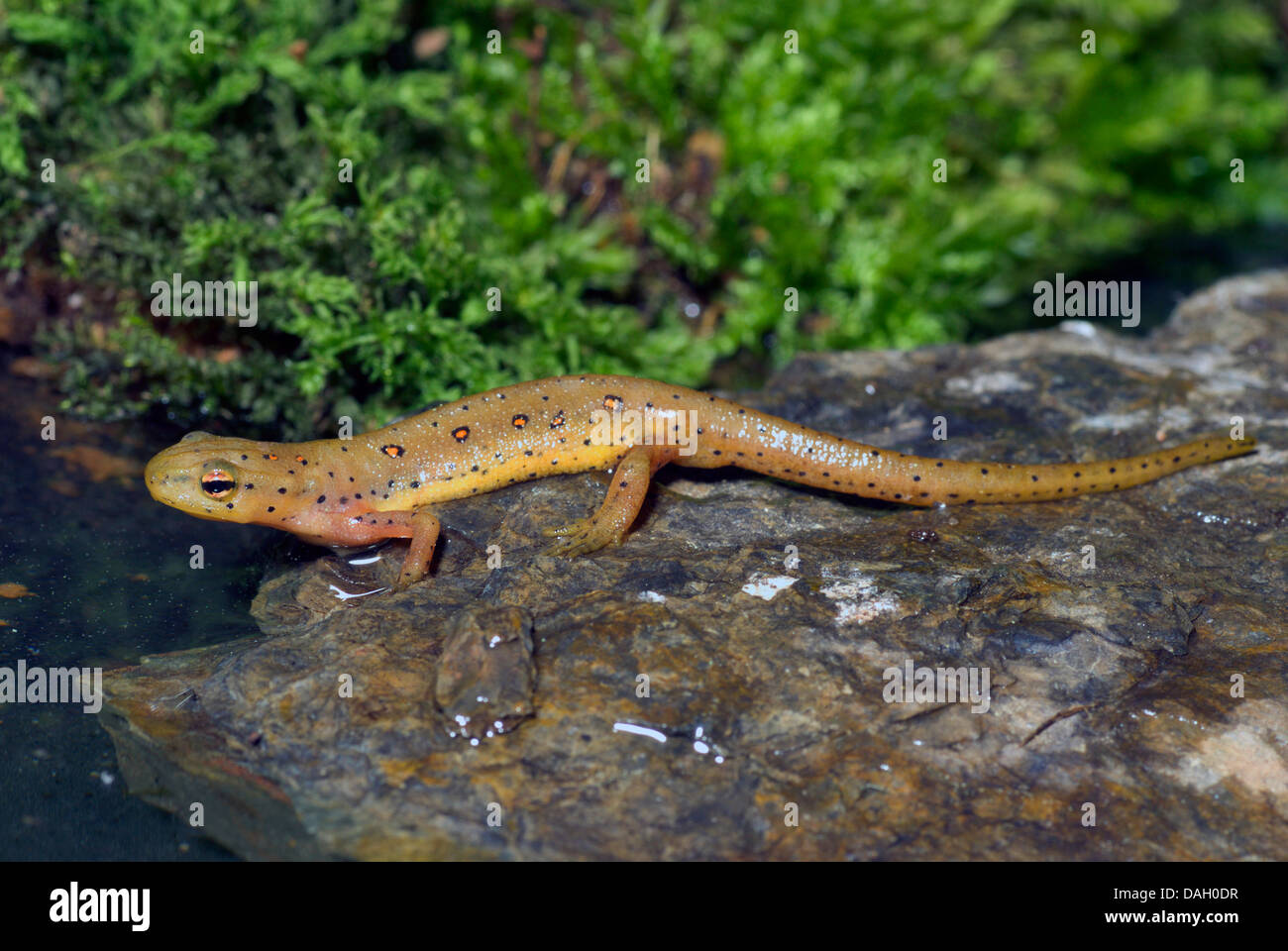 Eft, rojo, rojo-spotted newt eft, Notophthalmus viridescens newt (oriental), en una piedra Foto de stock