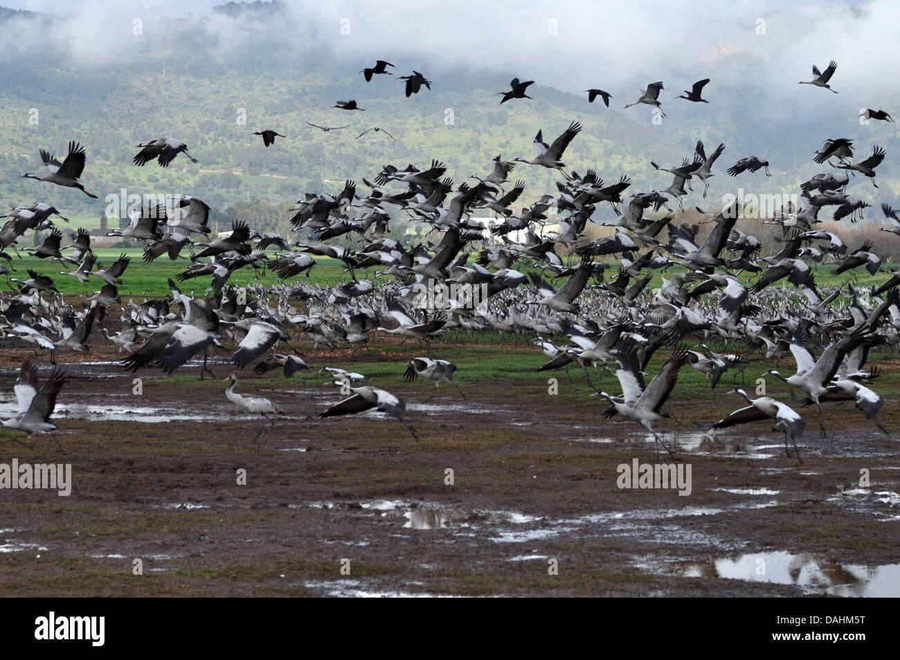 Una gran bandada de grulla común (grus grus) siluetas al amanecer. Grúa de grandes especies migratorias que vive en prados húmedos y marsh Foto de stock
