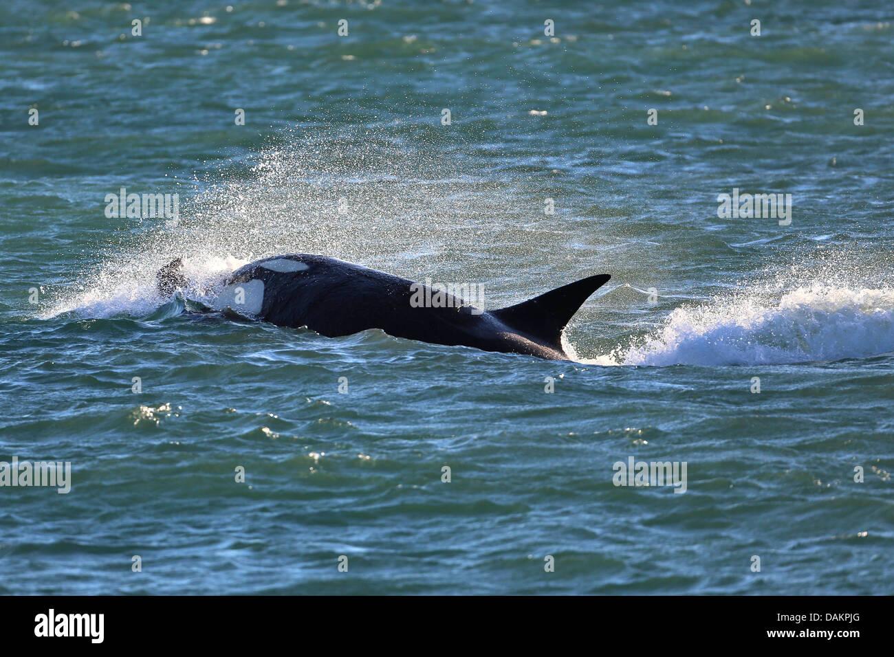 Orca, gran, grampus orca (Orcinus orca), atacar, Argentina, Patagonia, Valdes Foto de stock