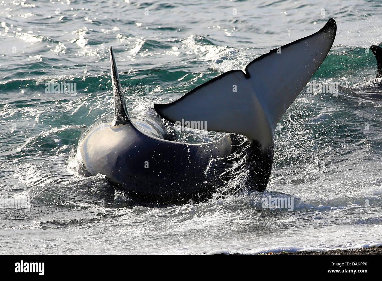 Orca, gran, grampus orca (Orcinus orca), tratando de llegar a aguas más profundas , Argentina, Patagonia, Valdes Foto de stock