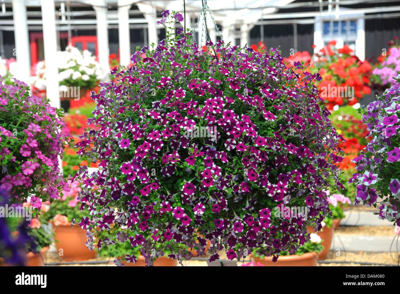 Jardín petunia (Petunia 'Purple Star', Petunia púrpura estrella estrella púrpura), cultivar, Imagen De Stock