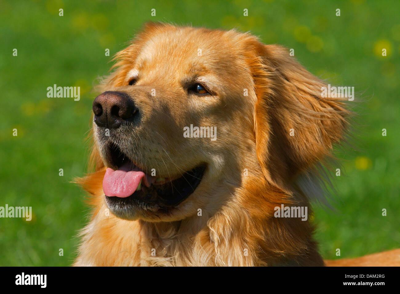 Hovawart (Canis lupus familiaris) f., retrato de una rubia perro macho, Alemania Imagen De Stock