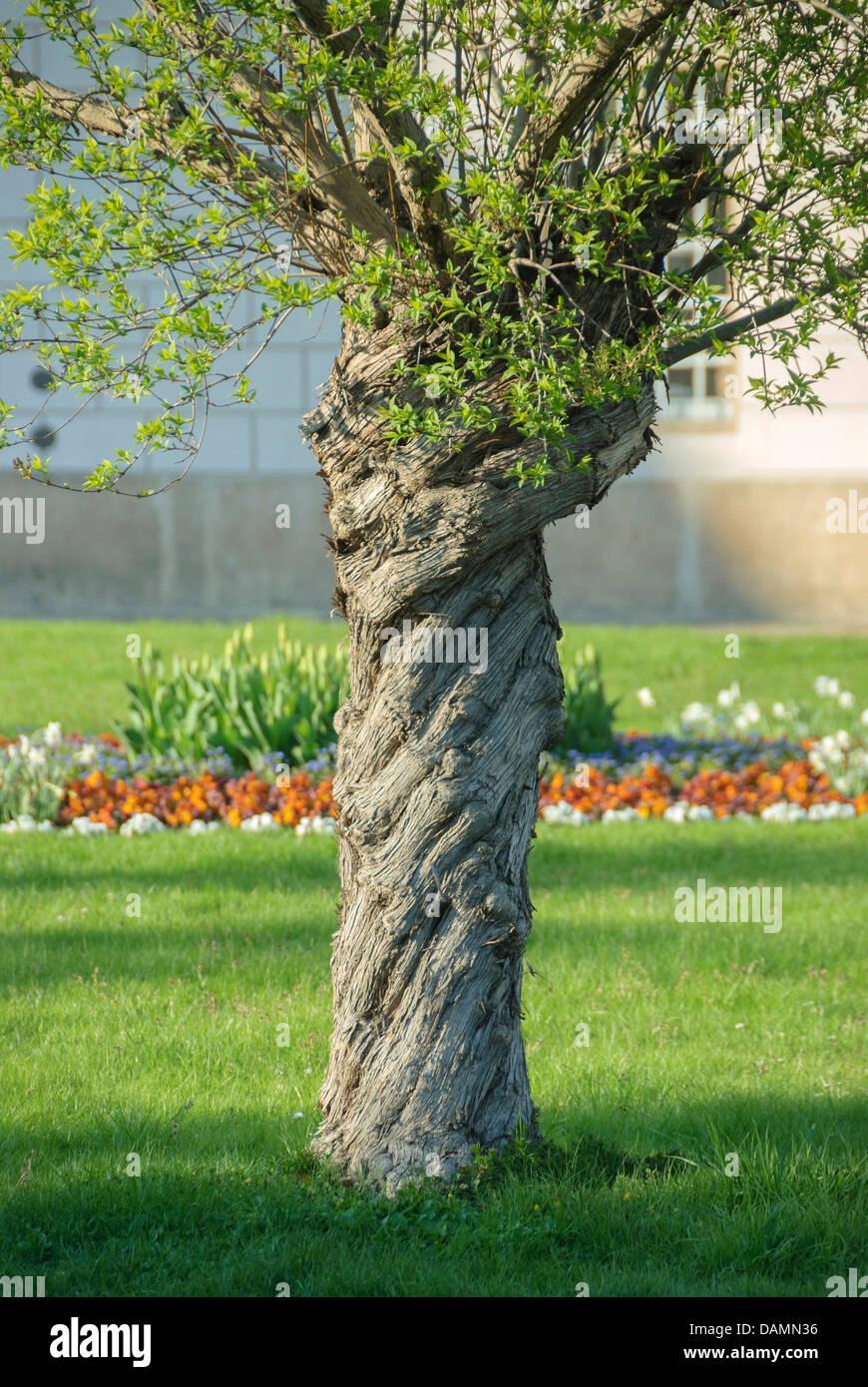 Chino lilas (Syringa chinensis), tronco Imagen De Stock