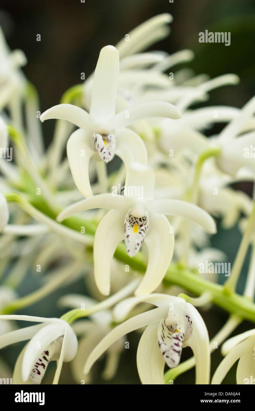 Sobresaliente (Dendrobium Dendrobium speciosum) Foto de stock
