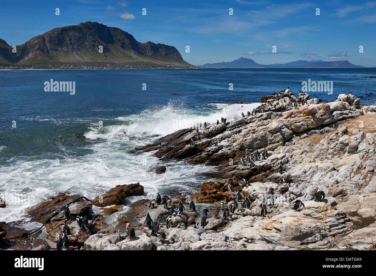 Colonia de Pingüinos Africanos, Spheniscus demersus, sobre las rocas de Betty's Bay, Ciudad del Cabo, Western Imagen De Stock