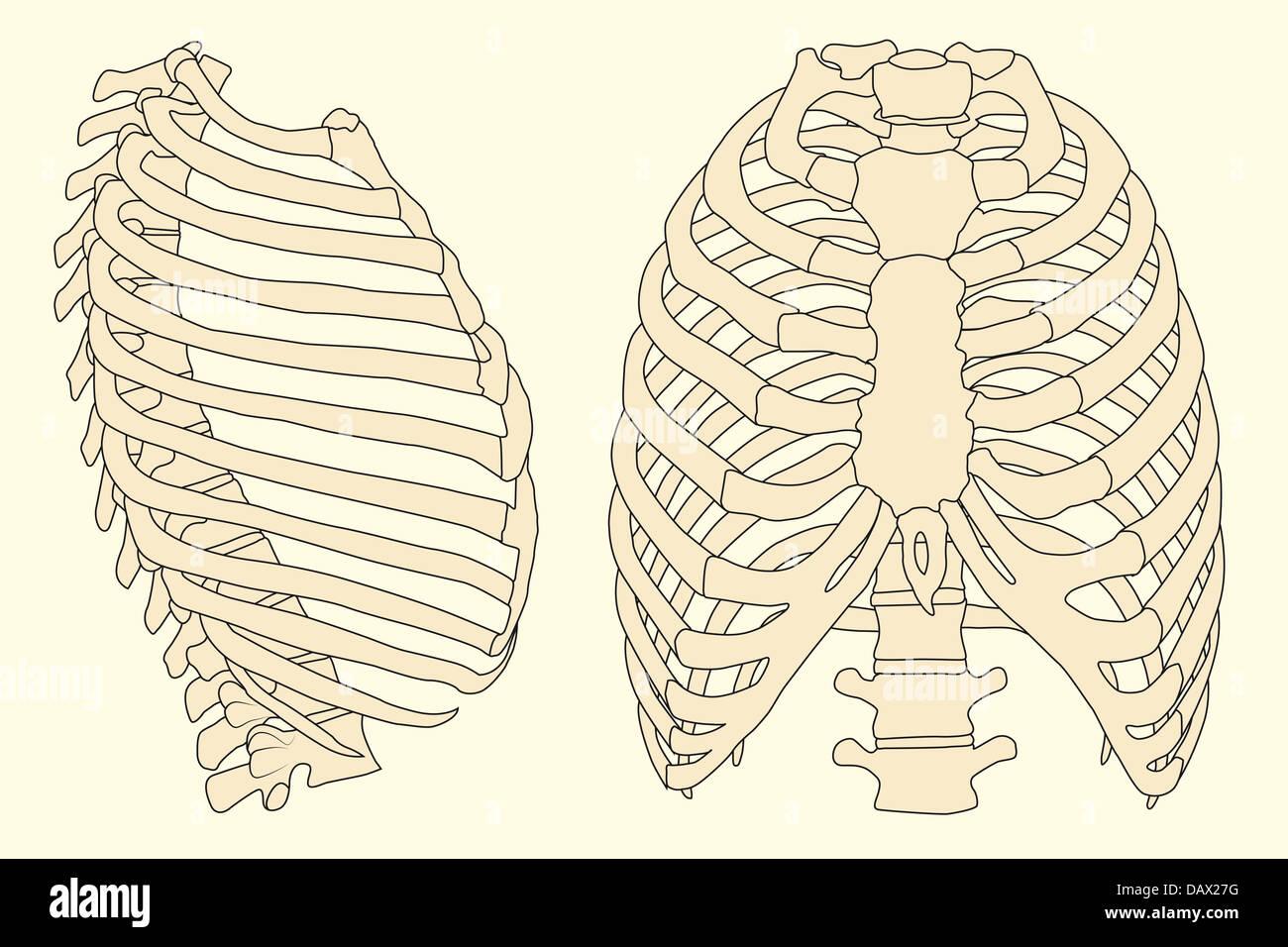 Ilustración de la caja torácica con la columna vertebral Foto ...