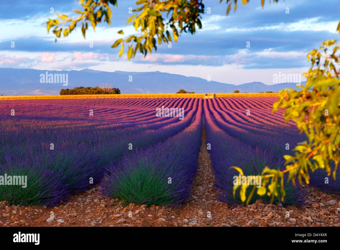 Hermoso campo de lavanda en la Provenza, Francia. Imagen De Stock