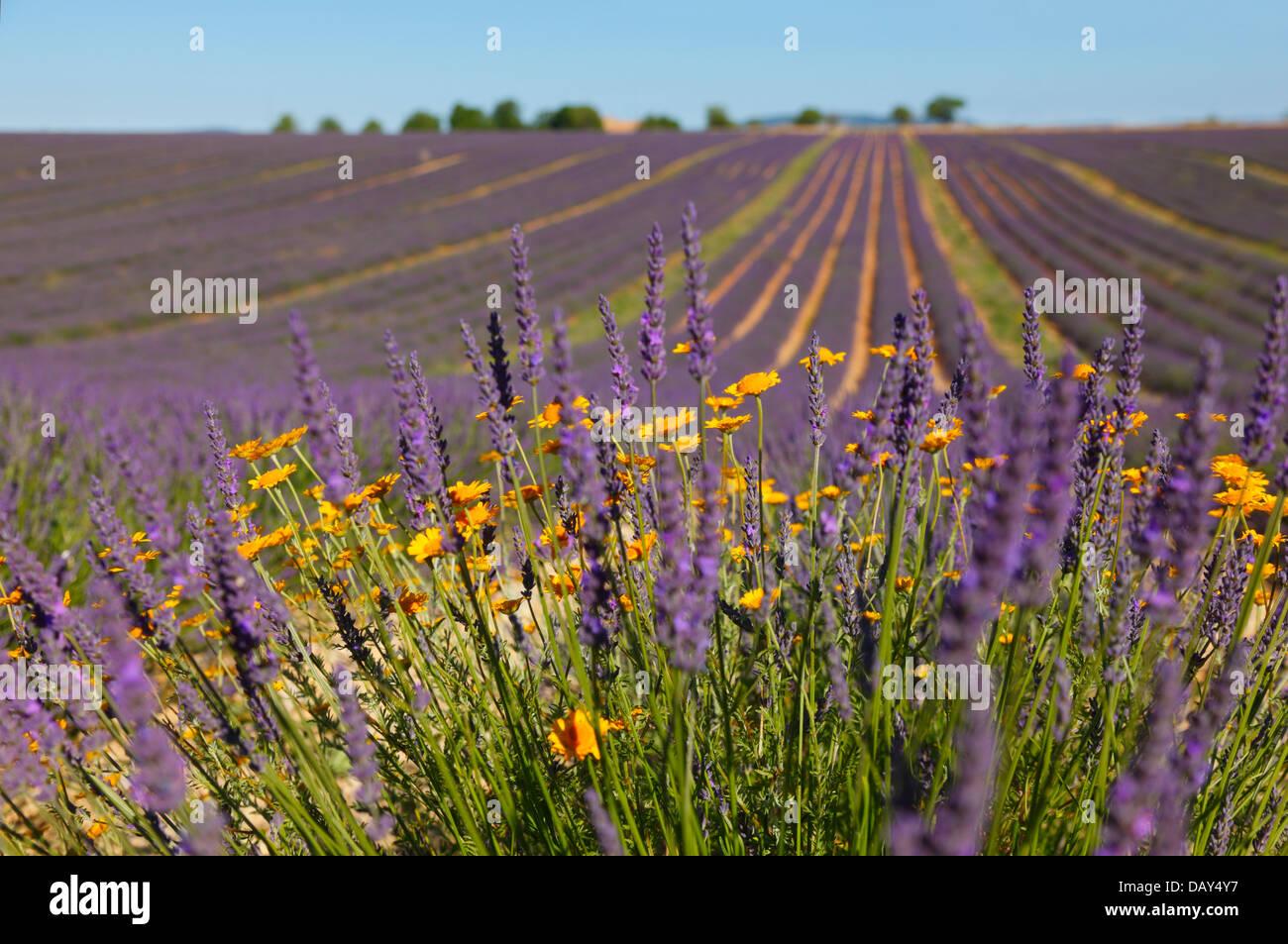 La lavanda Provence Imagen De Stock