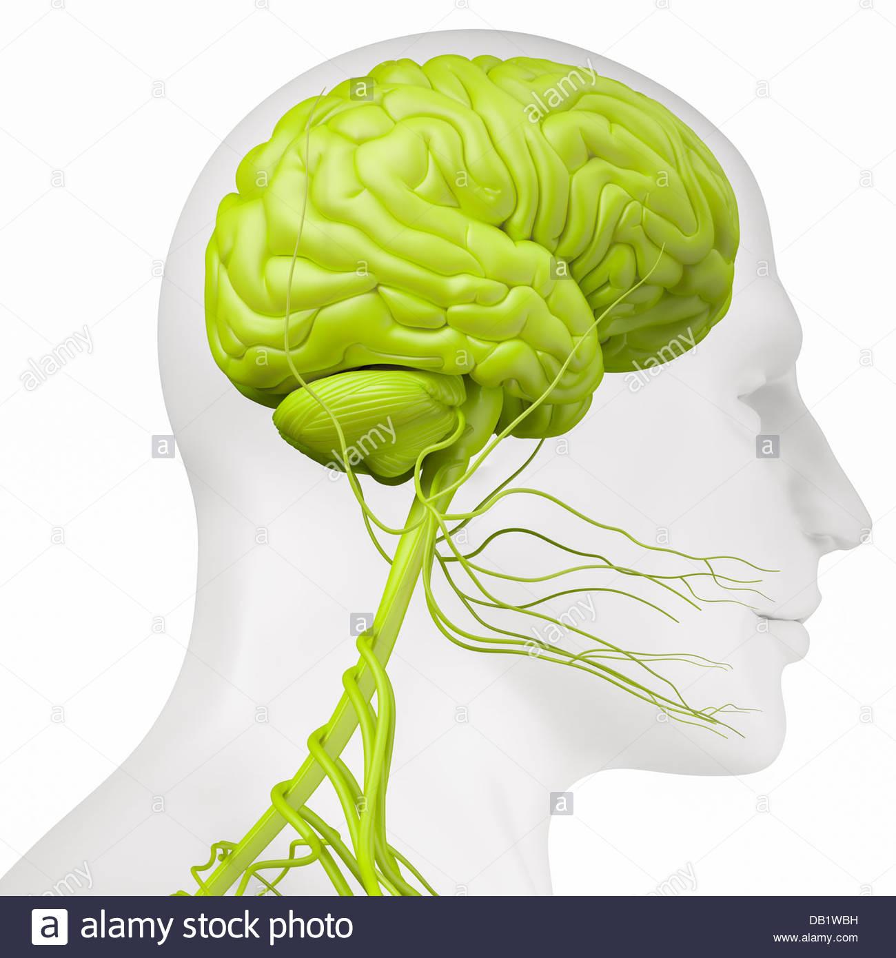Ilustración médica digital mostrando la vista lateral del sistema nervioso en la cabeza y el cuello. Imagen De Stock