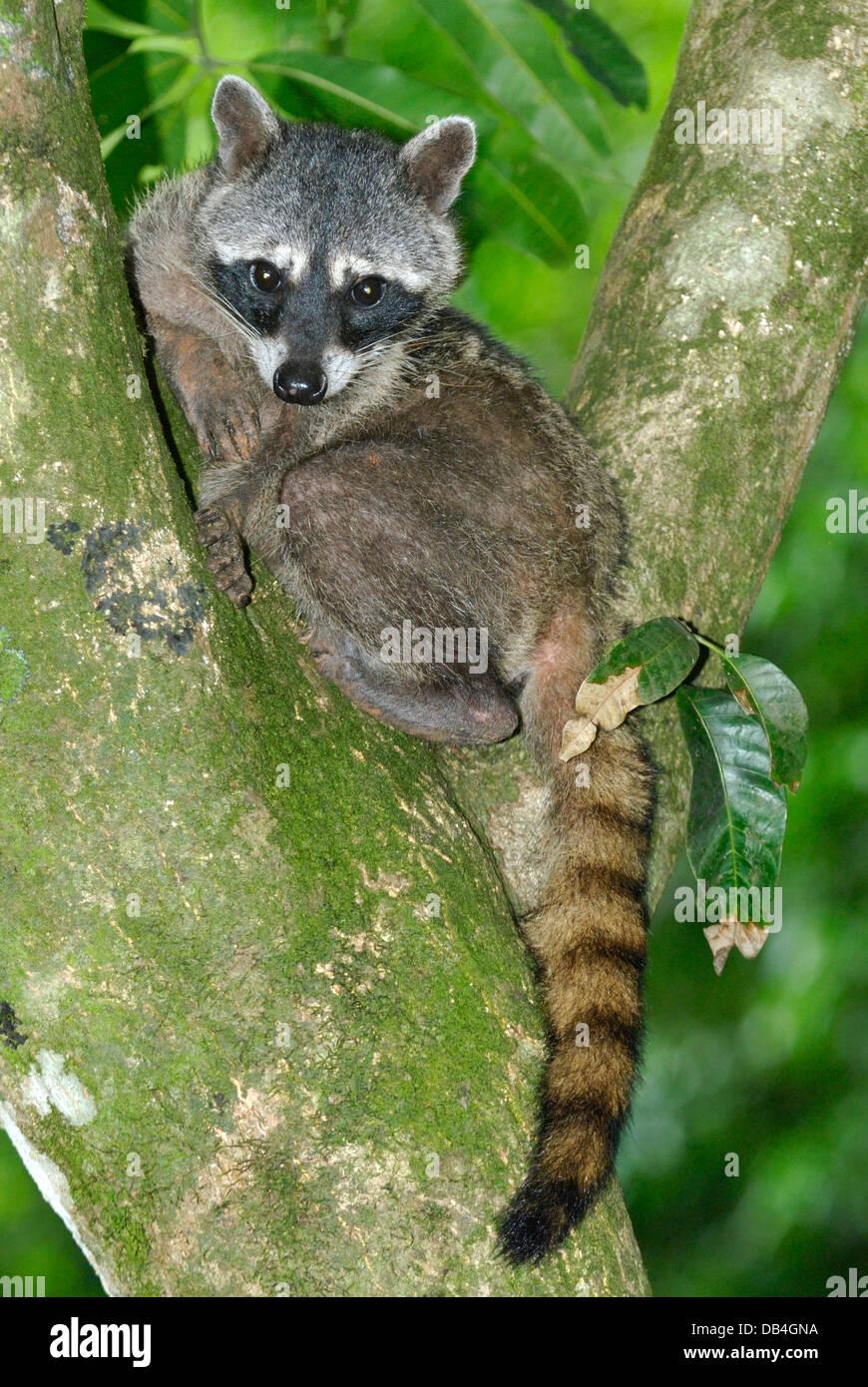 Comer centolla Raccooon (Procyon cancrivorus) en el Parque Nacional Manuel Antonio, Costa Rica Imagen De Stock