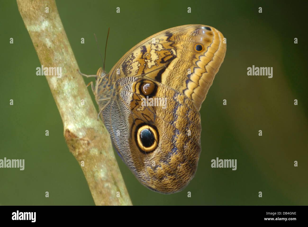 Areneros gigante mariposa búho (Caligo illionius rainforest) en Costa Rica. Imagen De Stock