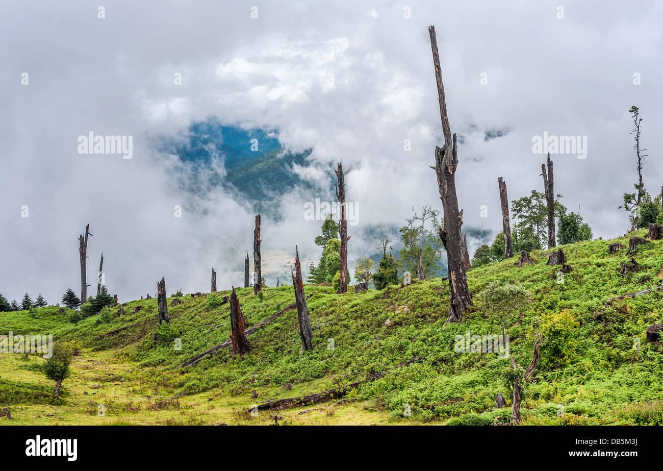Los árboles muertos y decadente de la enfermedad y de la tala ilegal, la deforestación, en las montañas Imagen De Stock