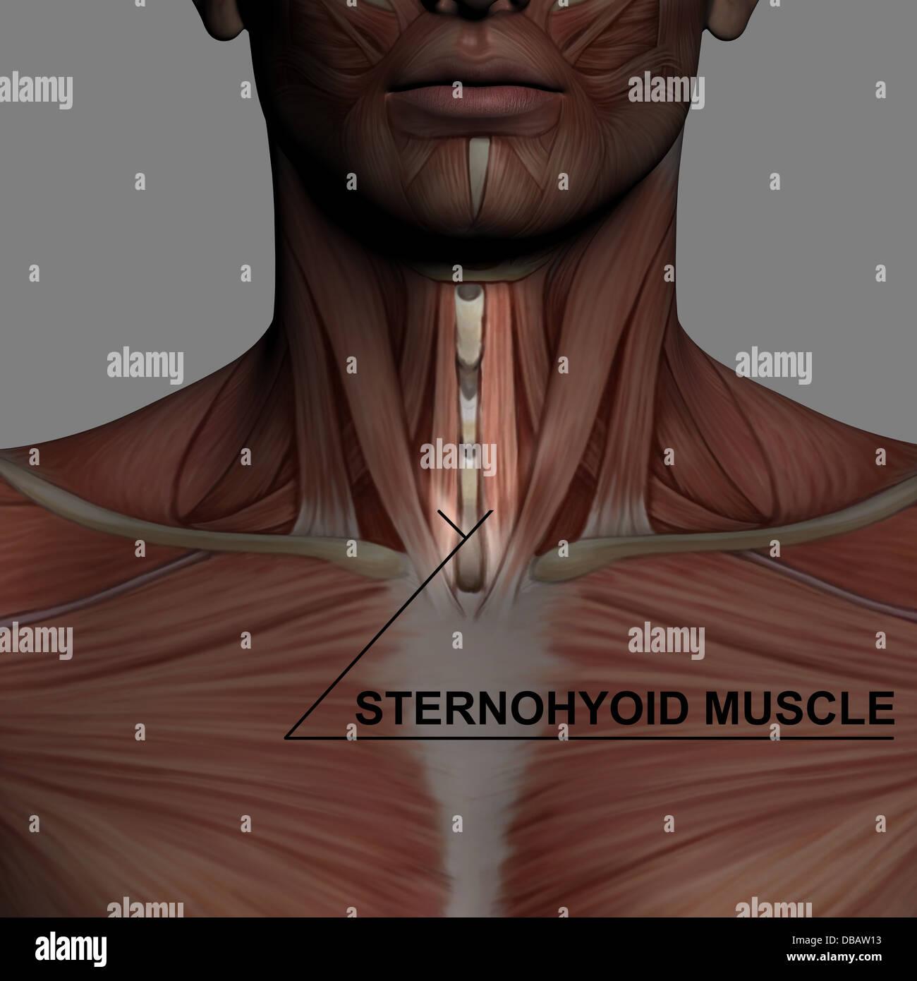 Anatomía Humana - Macho músculos realizados en el software 3d con ...