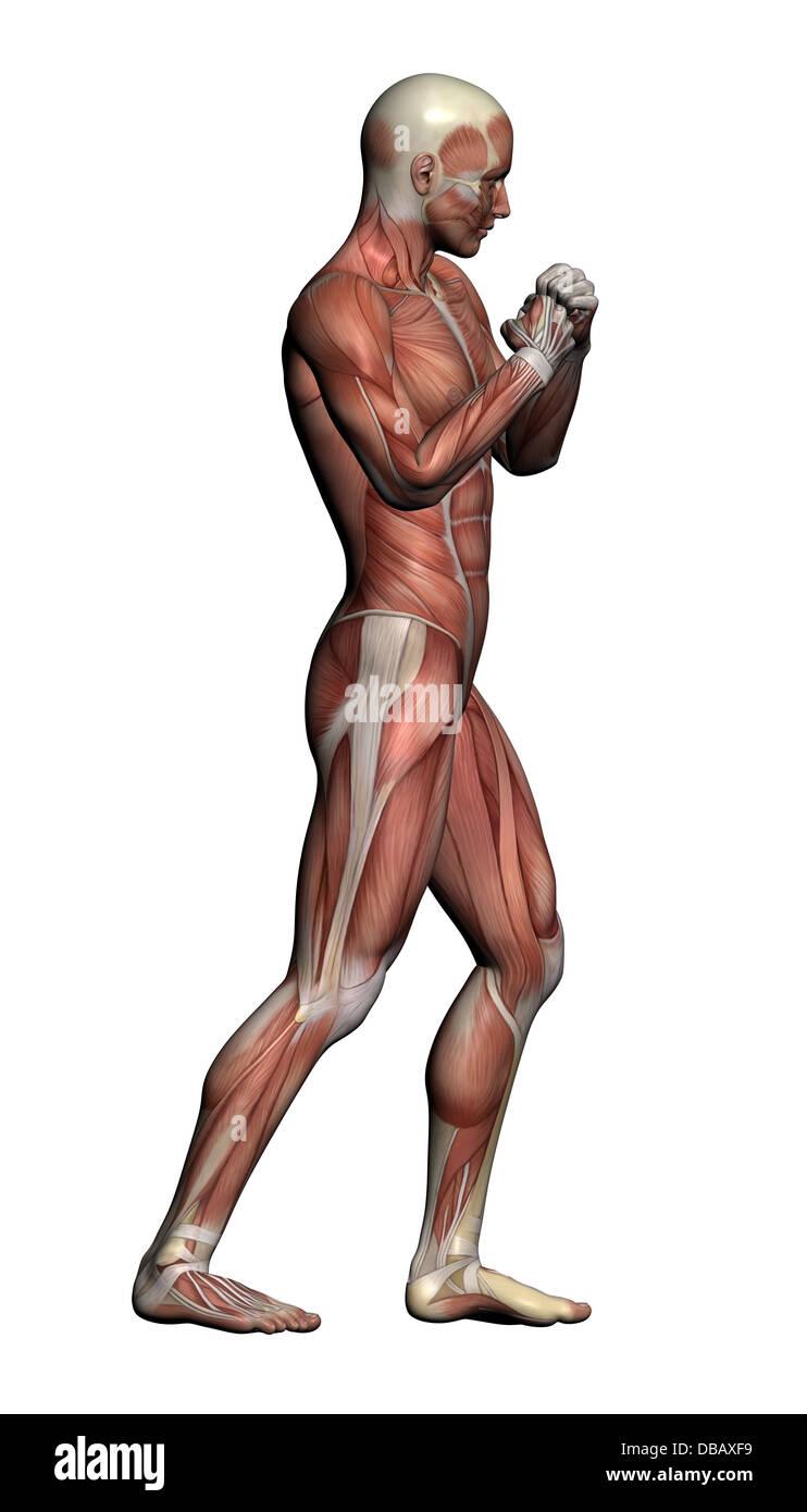 Anatomía Humana - Macho músculos realizados en el software 3d Foto ...