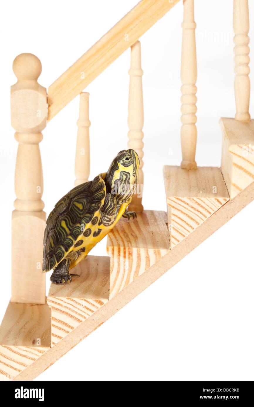 Little Green Turtle moviendo lentamente de una escalera de madera, avanzando Imagen De Stock