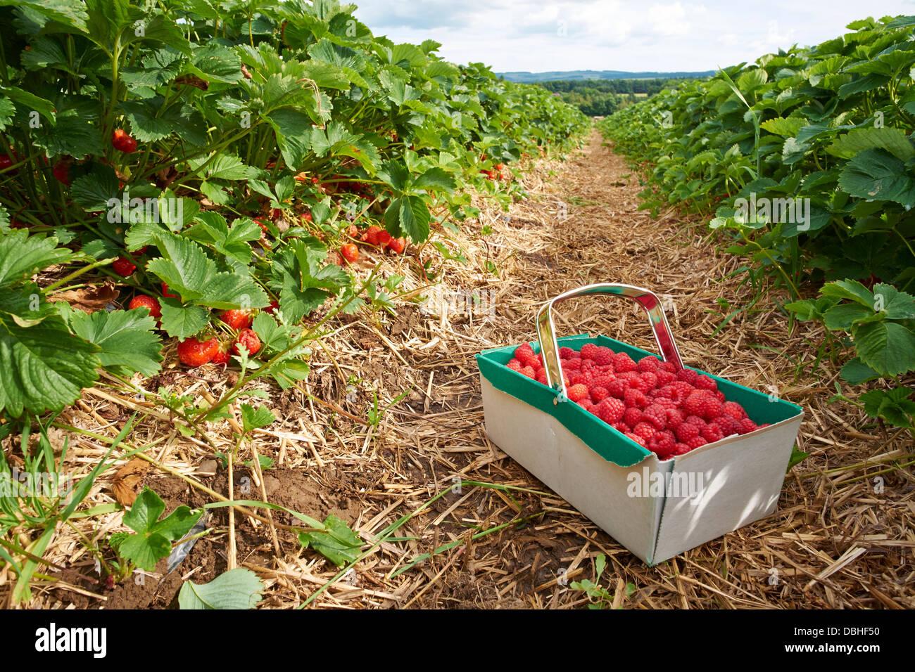 Fresas frescas maduras creciente en una granja de frutas Imagen De Stock