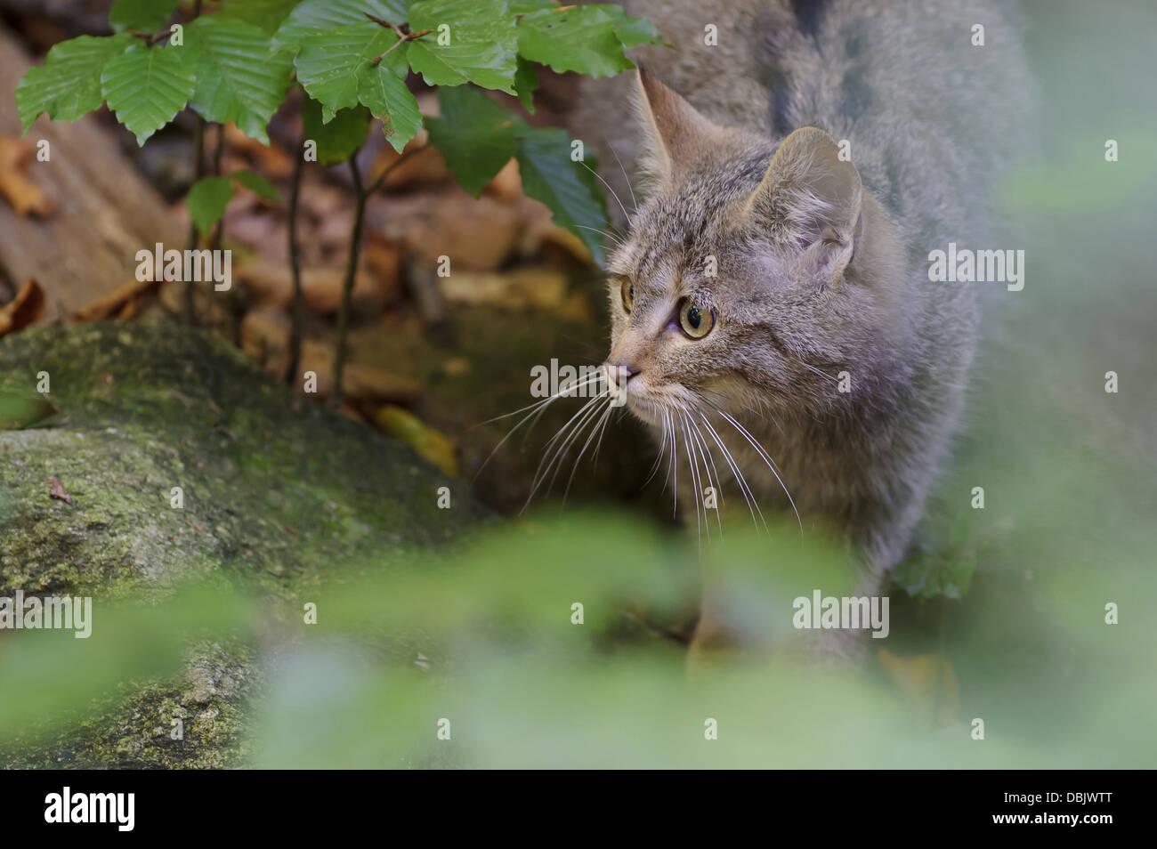 El Wildcat en Underwood, Felis silvestris, Bosque Bávaro, Baviera, Alemania, Europa Foto de stock