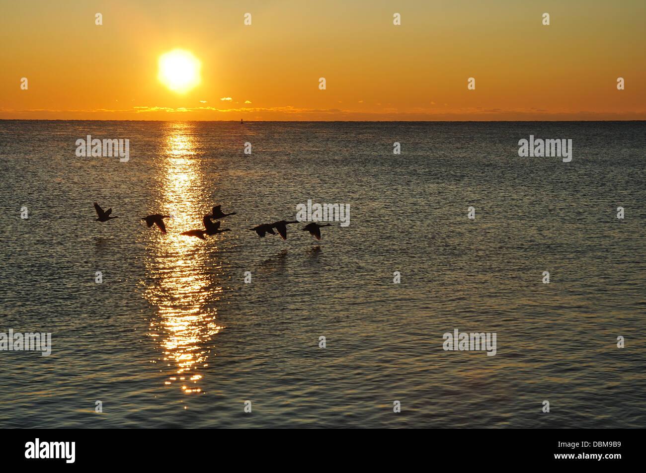 Siluetas de una bandada de gansos canadienses migrando al amanecer. Imagen De Stock