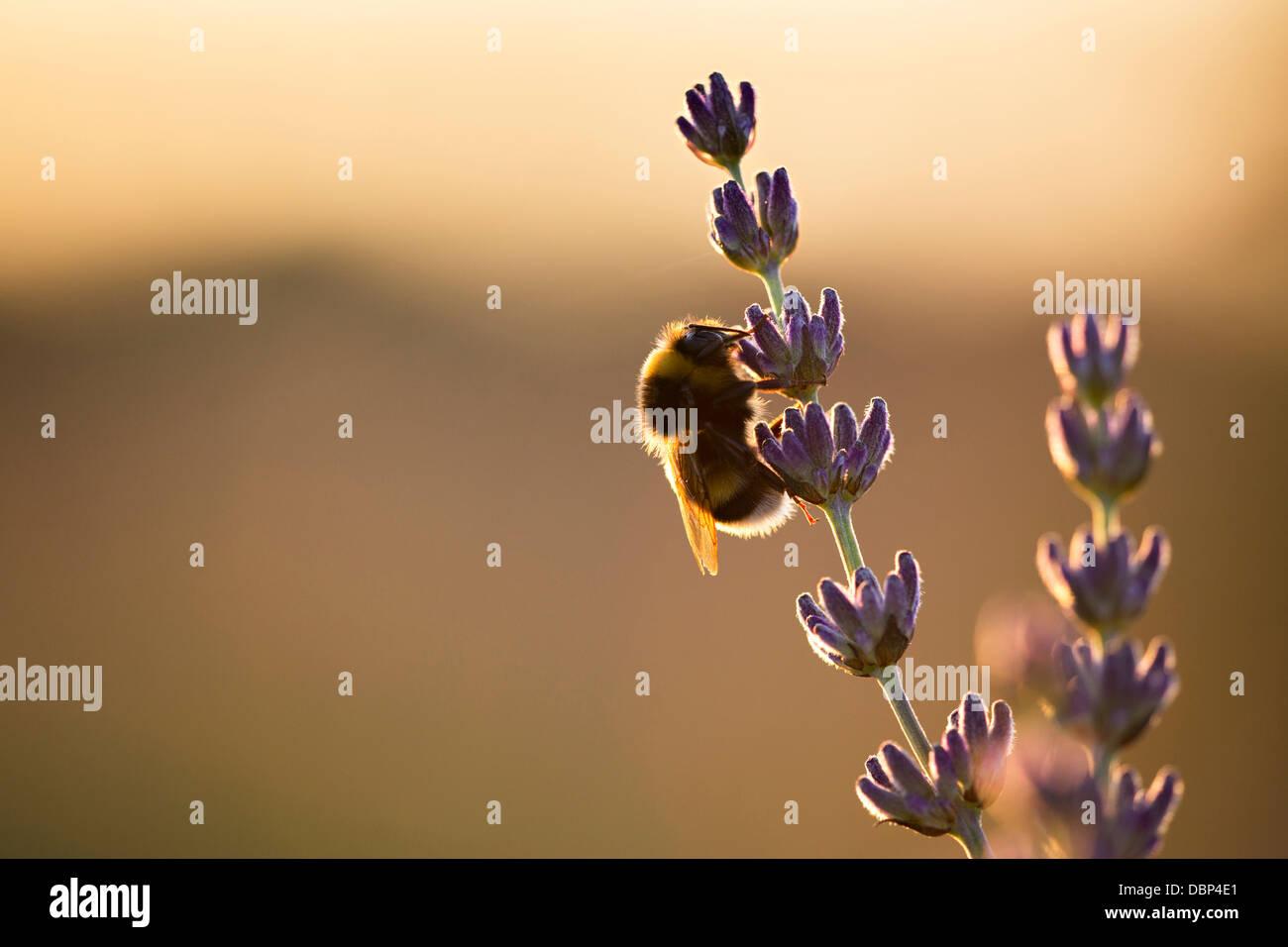 Bumblebee en campo lila, Isla de Hvar, Croacia, Europa Foto de stock
