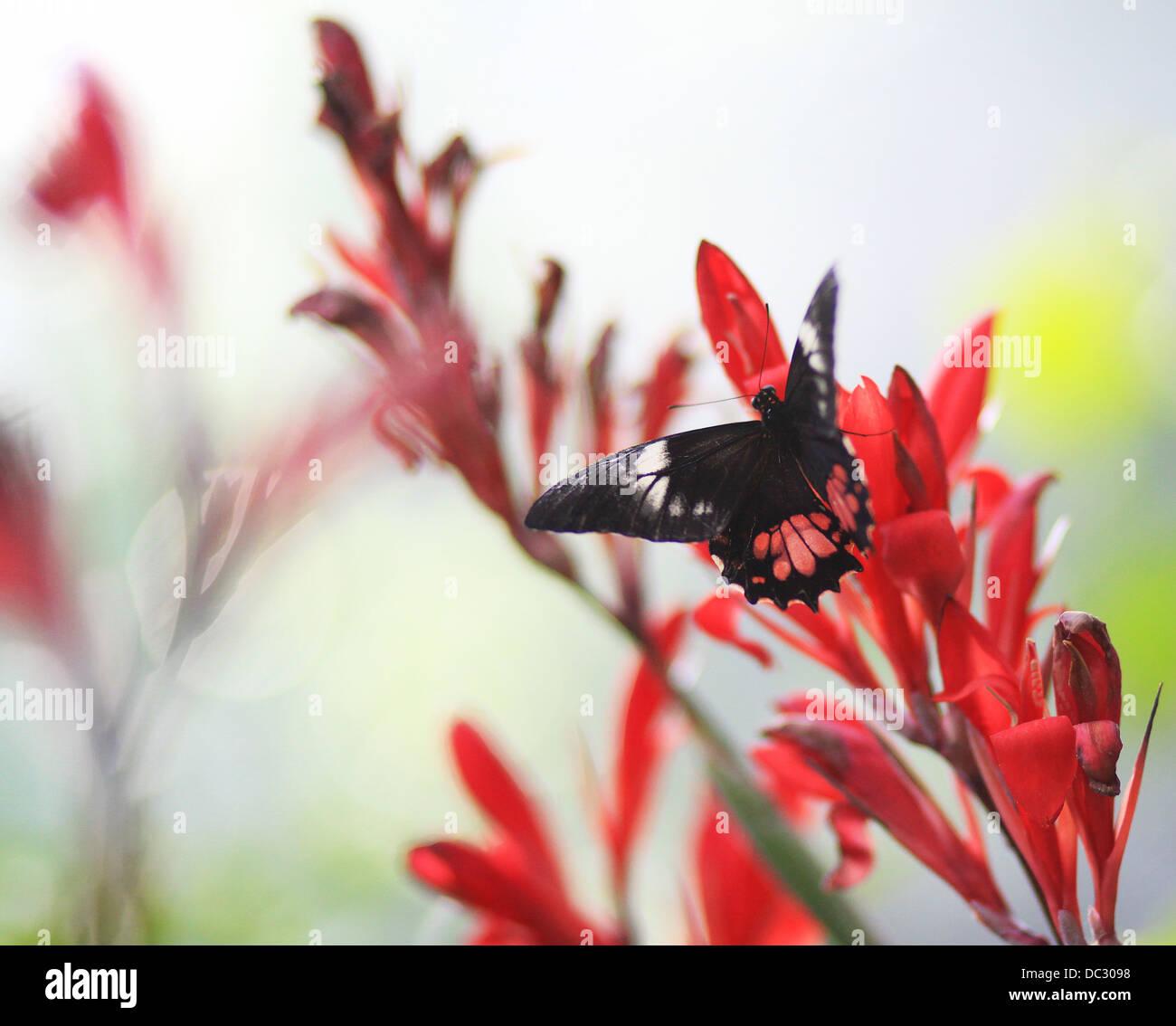 Mormón común (Papilio polytes),forma romulus,mujeres,donde se posan sobre una flor. Es una especie común Imagen De Stock